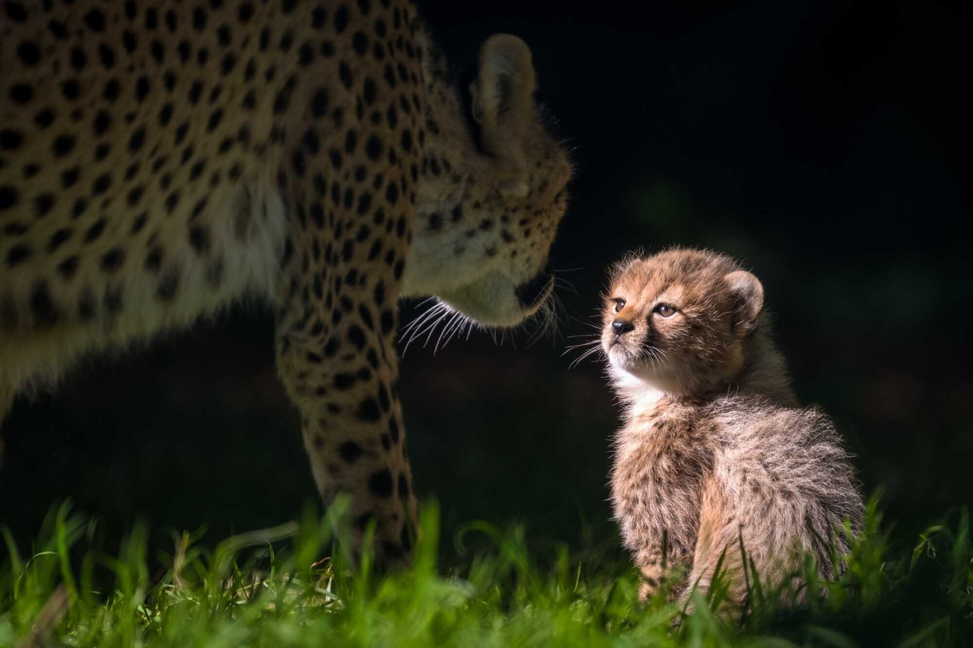 A very young Northern Cheetah cub and its mother photographed at Fota Wildlife Park, Co. Cork.